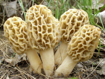 morels mushrooms hunting